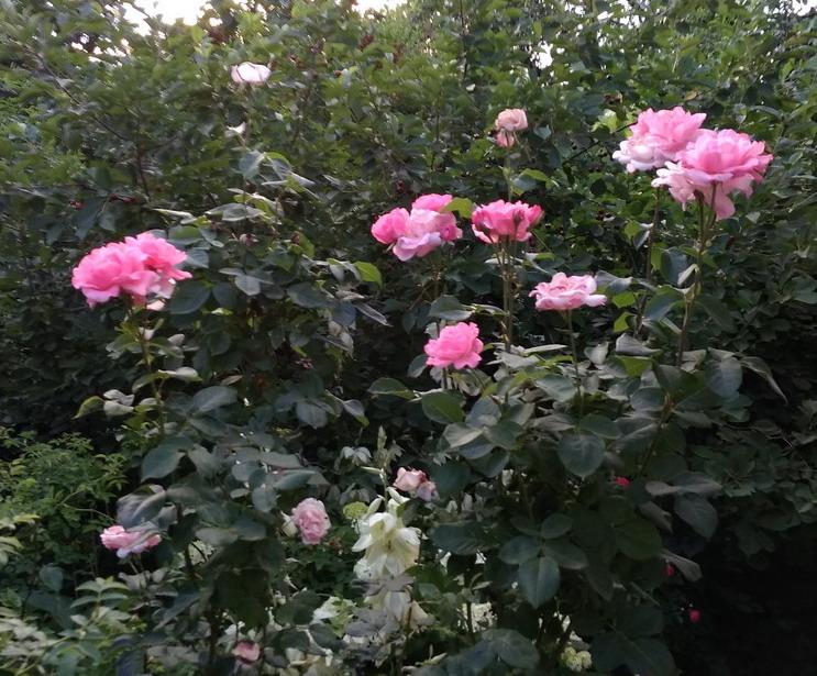 Название: Розы летом на фото.jpg Просмотров: 40  Размер: 182.9 Кб