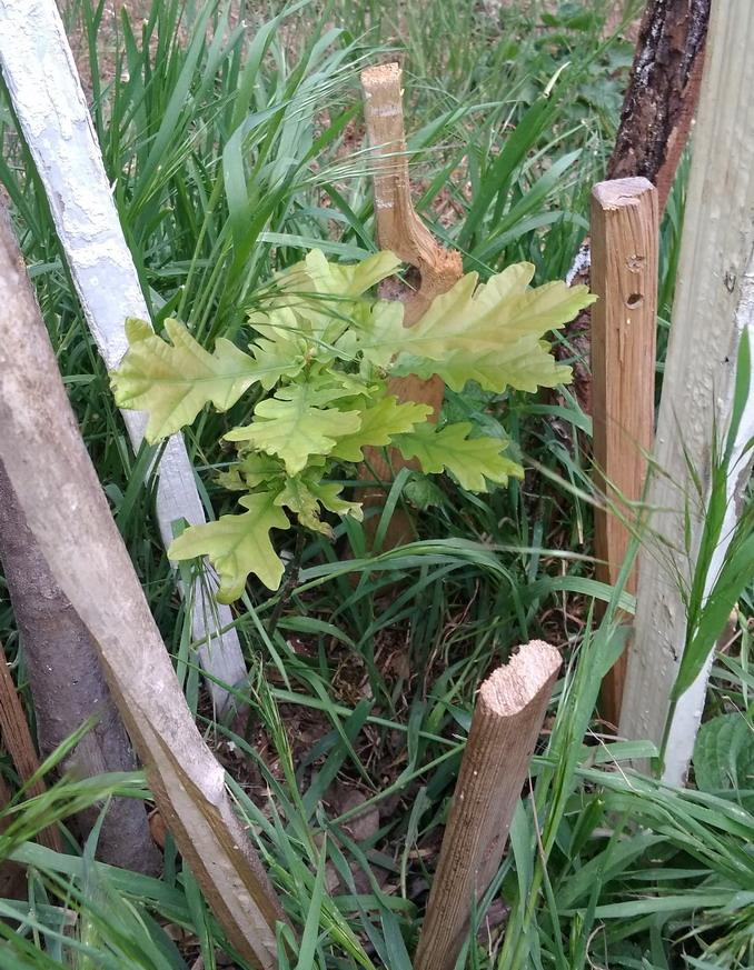 Название: Выращивание дуба на даче.jpg Просмотров: 8  Размер: 253.0 Кб